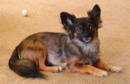 Side view - A brown and black with tan Pomchi dog is laying across a tan carpet looking forward. There is a white golf ball behind it.