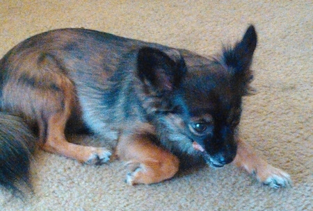 Side view - A brown and black with tan Pomchi is laying down across a carpet and it is looking to the right. Its tongue is flicking.