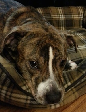 Brindle dog laying in dog bed