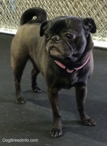 Front side view - A graying, black Pug is standing on a rubber surface and it is looking to the left. There is a metal fence behind it. It has a round head and its tail is curled up over its back.