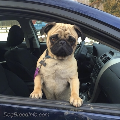 A tan with black Pug is standing up against the open window of the passenger side of a blue Toyota Corolla vehicle door and it is looking forward.