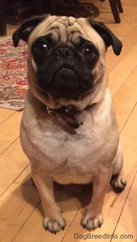 Close up front view - A wrinkly, round-headed, tan with black Pug is sitting on a hardwood floor and it is looking forward.