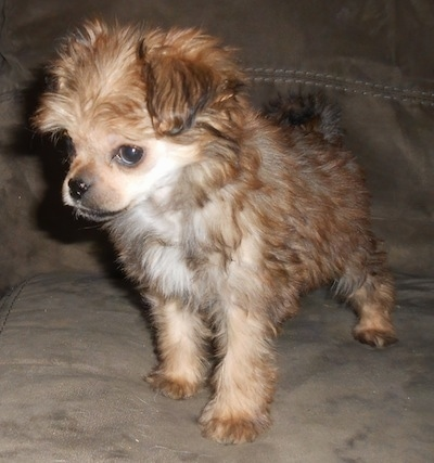 Front side view - A wavy-coated, tan with cream Pugese puppy is standing on a brown suede couch with its head down and turned to the left, but its eyes are looking forward.