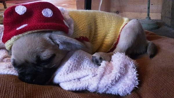 Side view - A tan with black Pugmatian puppy wearing a yellow sweater and a red and white polka dot hat sleeping on top of a towel on a brown couch.