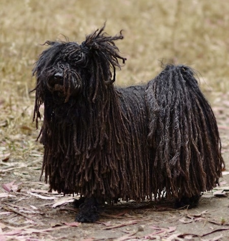 A black dreaded Puli dog is standing across a dirt path and it is looking up and to the left.
