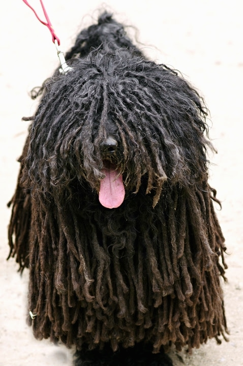 Close up front view - A black dreaded Puli is standing on a concrete surface and it is looking up. The dog is panting.