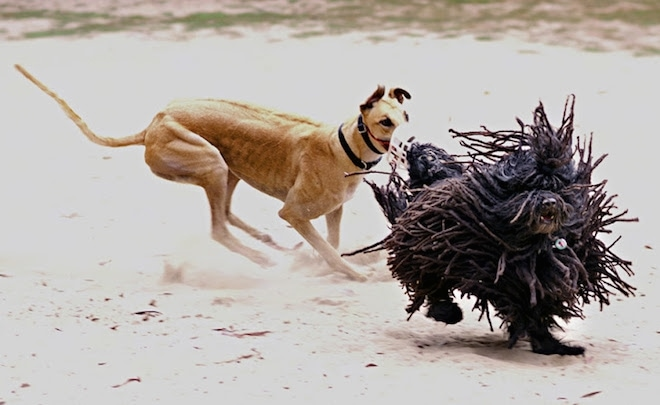 A brown greyhound dog with a muzzle is running after a black dreaded Puli dog. The Puli has long hair that is flapping around.