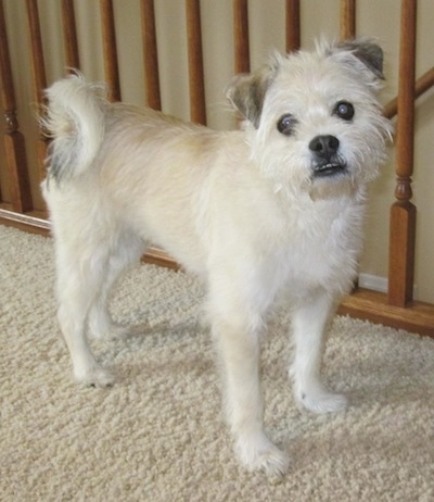 Side view - A scruffy-looking, white with tan and black Pushon dog is standing on a tan carpet next to a wooden banister looking at the camera. Its head is slightly tilted to the left and its bottom teeth are showing because of an underbite.