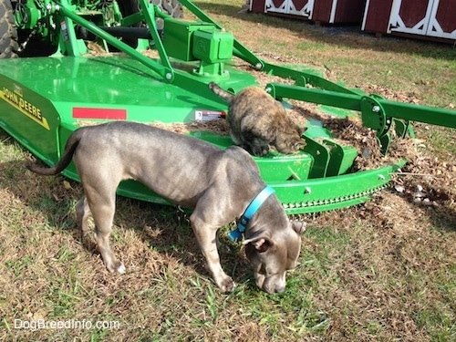 A cat is sitting on a green John Deere mower and an American Pit Bull Terrier dog is sniffing grass.