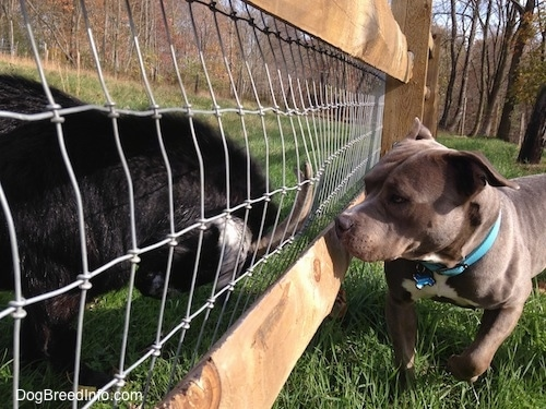 Close up - A Goat is pushing its horns up against a fence and in front of it is an American Bully Pit looking at the goat.