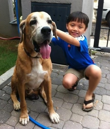 A graying tan with white Rhodesian Bernard is sitting on a stone tiled walkway, it is next to a smiling boy in blue. The dog's tongue is hanging way out and he looks calm and happy.