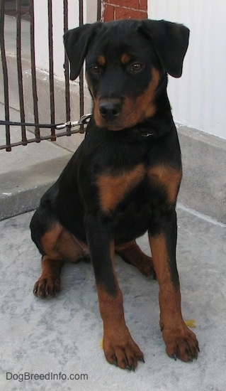 A black and tan Rottweiler puppy is sitting on a concrete surface. It is looking down and to the left.