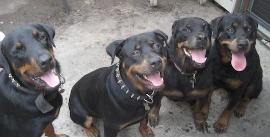 Four Rottweilers are sitting in a row on a concrete surface. They are looking up, they are panting and it looks like they are all smiling. Two of the dogs are wearing black collars with spikes in them.