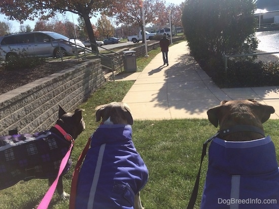 The back of three dogs that are sitting in grass, they are watchign a person walk away and they are wearing purple jackets.