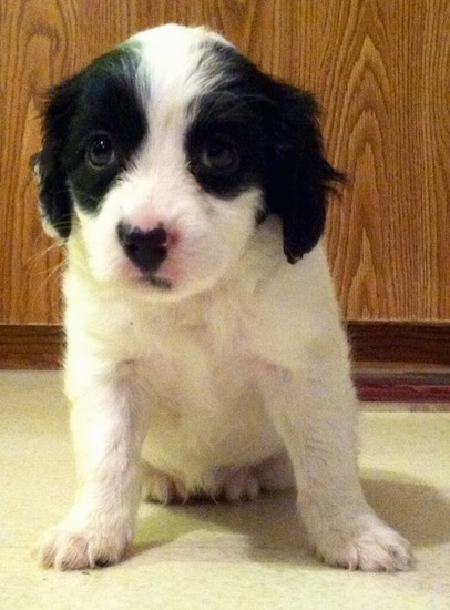 Front view - A small white with black Russian Spaniel puppy is sitting on a tiled floor and it is looking forward in front of a wooden cabinet.