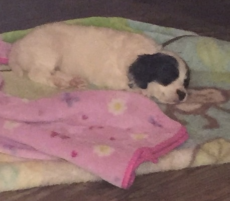 A white with black Russian Spaniel puppy is sleeping on top of a blanket that has a brown monkey on it next to a pink blanket.