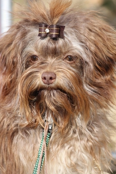 Close up head shot - A wavy coated, long-haired, brown Russian Tsvetnaya Bolonka dog is standing outside and it has a brown ribbon in the hair of its top knot.