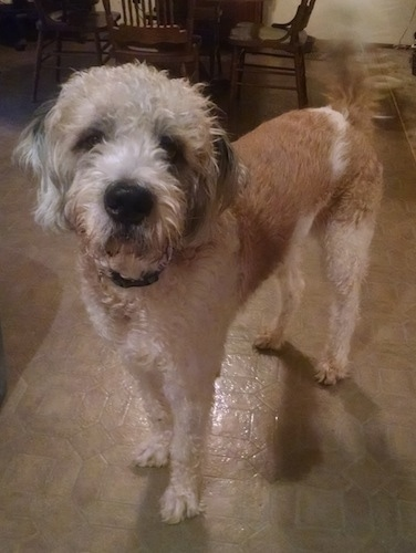 Front side view - A shaved tan and white Saint Berdoodle is standing in a dining room looking up and forward. It has longer hair on its head and tail.