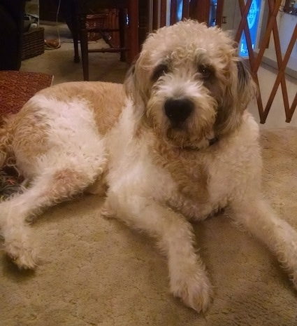 A shaved wavy coated, tan and white Saint berdoodle is laying across a carpet and it is looking forward. It has longer hair on its head and ears.