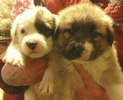 Close up front view - Two fluffy white with brown and black Saint Pyrenees puppies are being held in the arms of a person.