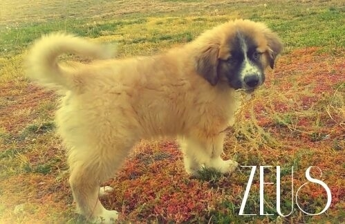 The right side of a tan with white and black Saint Pyrenees puppy that is standing in red grass. The dogs tail is curled up over its back. It is looking forward. The words - Zues - are overlayed in the bottom right.
