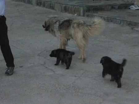 The back left side of a Sarplaninac dog that is walking up a concrete surface and it is being followed by two Sarplaninac puppies.