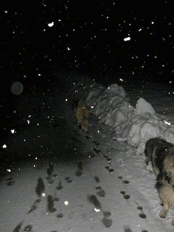 The back of two Sarplaninacs that are walking up a snowy walkway. It is activly snowing in the image.