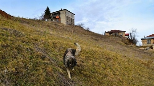 A black and grey Sarplaninac dog is walking down the side of a steep hill.