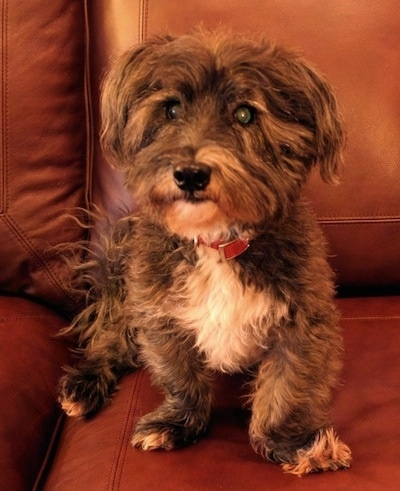Front view - A wiry looking, black, gray with white Scotchon dog is sitting on a brown leather couch and it is looking forward.