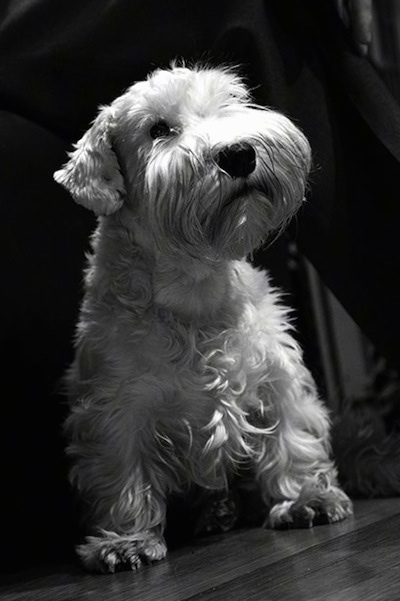 Close up front view - A black and white photo of a Sealyham Terrier is standing on a hardwood surface and the dog is looking up and to the right. The dog has longer hair on its snout that looks like a mustache and beard and wavy hair on its body with a big black nose.
