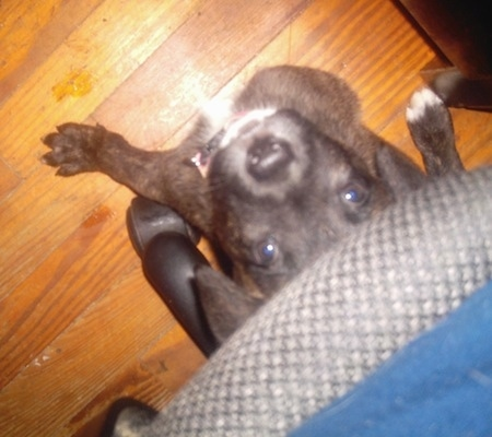 Top down view of a small brindle with white Shepherd Pit puppy that is sitting on a hardwood floor under a computer chair. It is looking up.