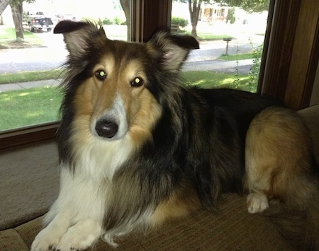 The left side of a black with brown and white Shetland Sheepdog that is laying across the back of a couch, its head is tilted to the right and it is looking forward. There is a window behind it. It has a long muzzle.