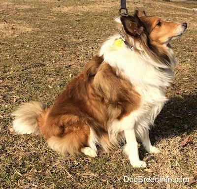 The right side of a brown and white Shetland Sheepdog is sitting across grass, it is looking up and to the right.