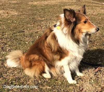 The right side of a brown and white Shetland Sheepdog that is sitting across grass and it is looking to the right.