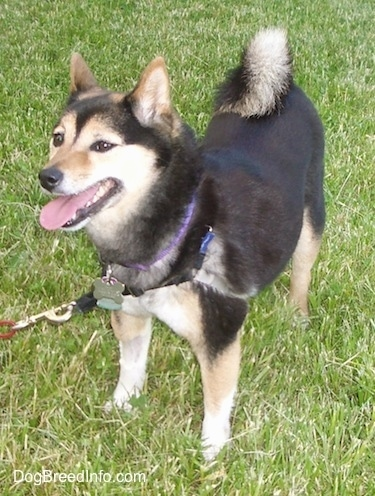 Front side view - A black with tan and white Shiba Inu dog is standing in grass and it is looking to the left. Its mouth is open and tongue is out. Its tail is curled over its back.
