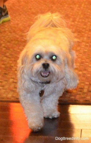A tan Shih-Poo is walking off of a rug, it is looking forward, its mouth is open and it looks like it is smiling. It has wide round eyes that are glowing green and a black nose.