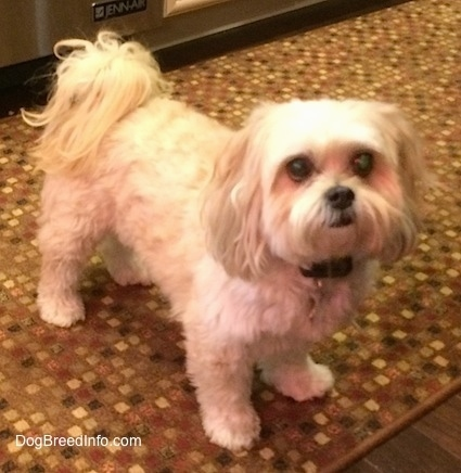 The right side of a tan Shih-Poo dog that is standing on a rug in front of a refrigerator, it is looking up and forward. It has longer hair on its ears and its tail is curled up over its back with long hair parted to the sides. It has big round eyes and a black nose and black lips.