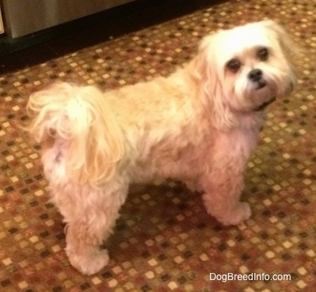 The right side of a wided eyed, tan Shih-Poo dog that is standing across a rug towards the right, It is looking up and forward. It has a black nose and black lips.