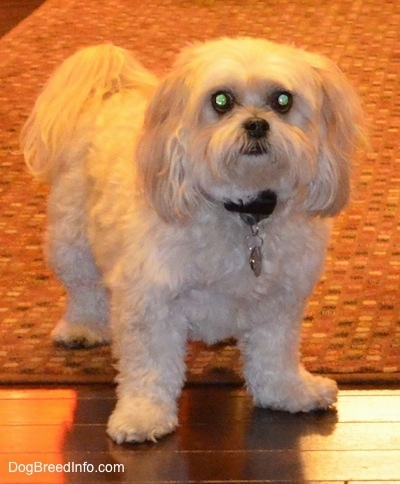Close up front view - A wavy, soft coated, tan Shih-Poo dog is standing on a rug and hardwood floor. It is looking forward and up.