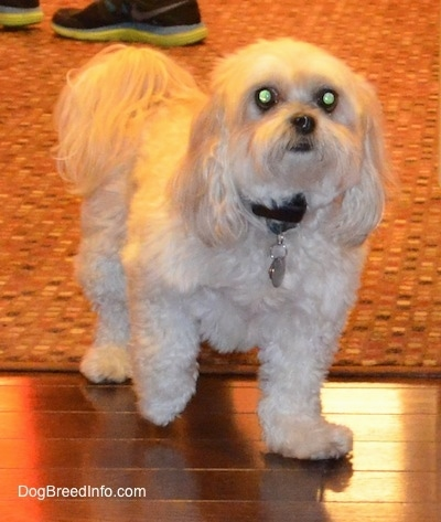 A tan Shih-Poo is sitting on a rug and a hardwood floor. It is looking up and forward. Its front paw is up in the air and it has long hair on its ears and tail.