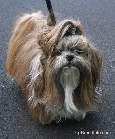 Close up front view - A long coated tan with white and black Shih Tzu dog is standing on a blacktop surface, it has a green rubber band in the hair of its top knot and it is looking forward.