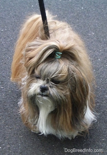 Front view from the top looking down at the dog - A long haired, brown with white Shih-Tzu dog is standing on a blacktop surface, it has a green rubber band in its hair and it is looking to the left.