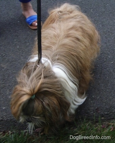 Top down view of a long coated, tan with white Shih-Tzu dog standing on a blacktop surface and it is looking down at grass.