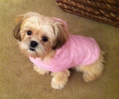 Top down view of a tan with white Shih-Tzu that is wearing a pink hoodie and it is looking up.