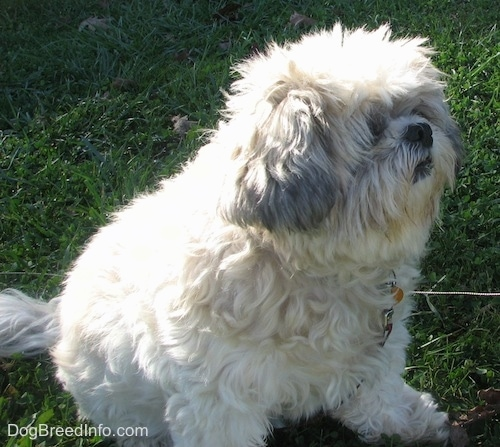 Close up - The right side of an over weight white with black Shih-Tzu that is sitting on grass and looking to the right.