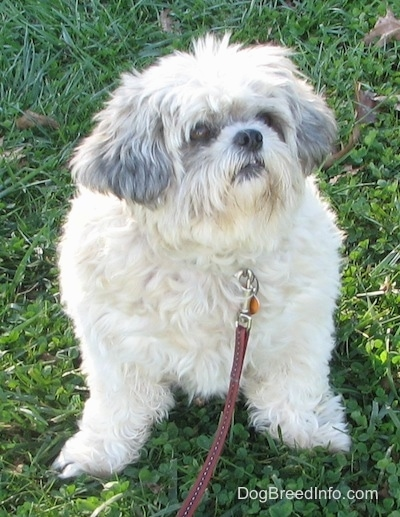 Close up front view - An overweight white with black Shih-Tzu dog is sitting in grass and it is looking to the right. Its front legs bow out to the sides.