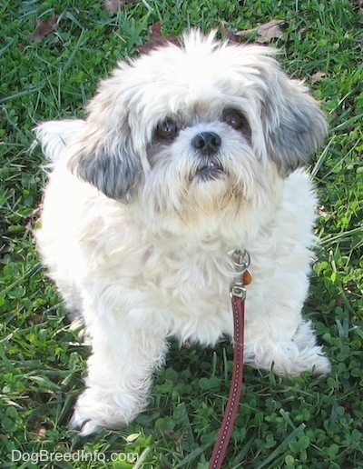 Front view - A white with black Shih-Tzu is sitting on grass and it is looking up. It has wide round brown eyes and a black nose.
