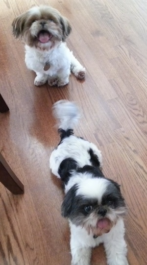 Two Shih Tzus, one is sitting and one is laying across a hardwood floor, they are looking up with there mouths open and tongues out. One dog is tan and white and the other dog is brown and white.