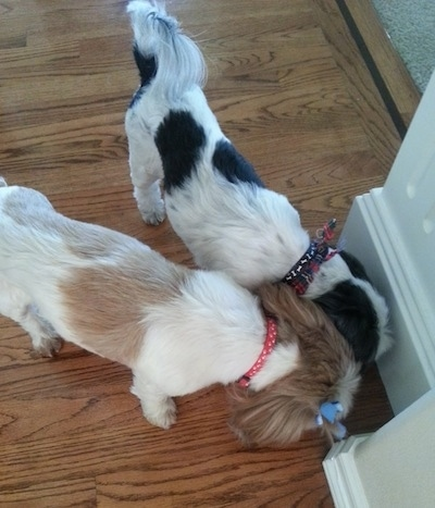 Top down view of Two Shih Tzus sniffing a wall that is in the corner of a room.
