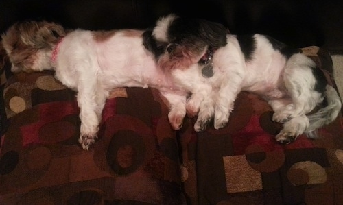 Two Shih Tzus are laying across the back of a couch and they are sleeping on the pillows. The white and black dog is laying on top of the white and tan dog.